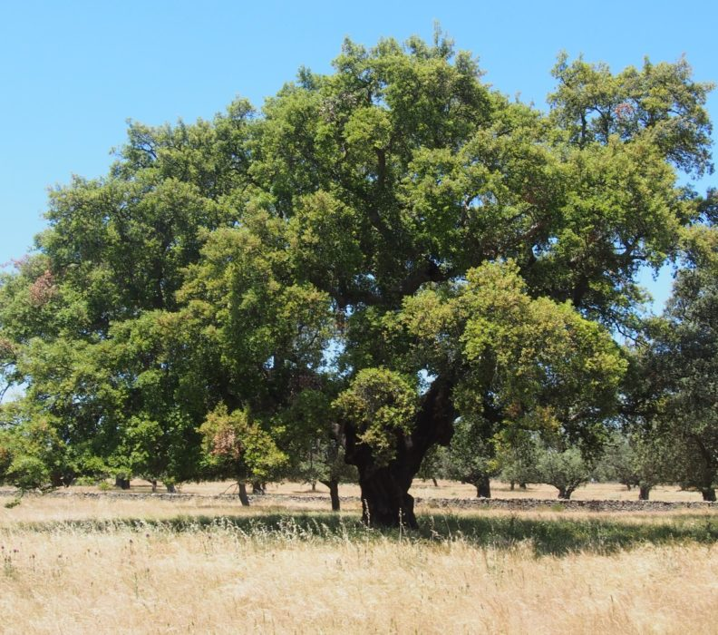 Quercus suber: rare cork oak in Umbria